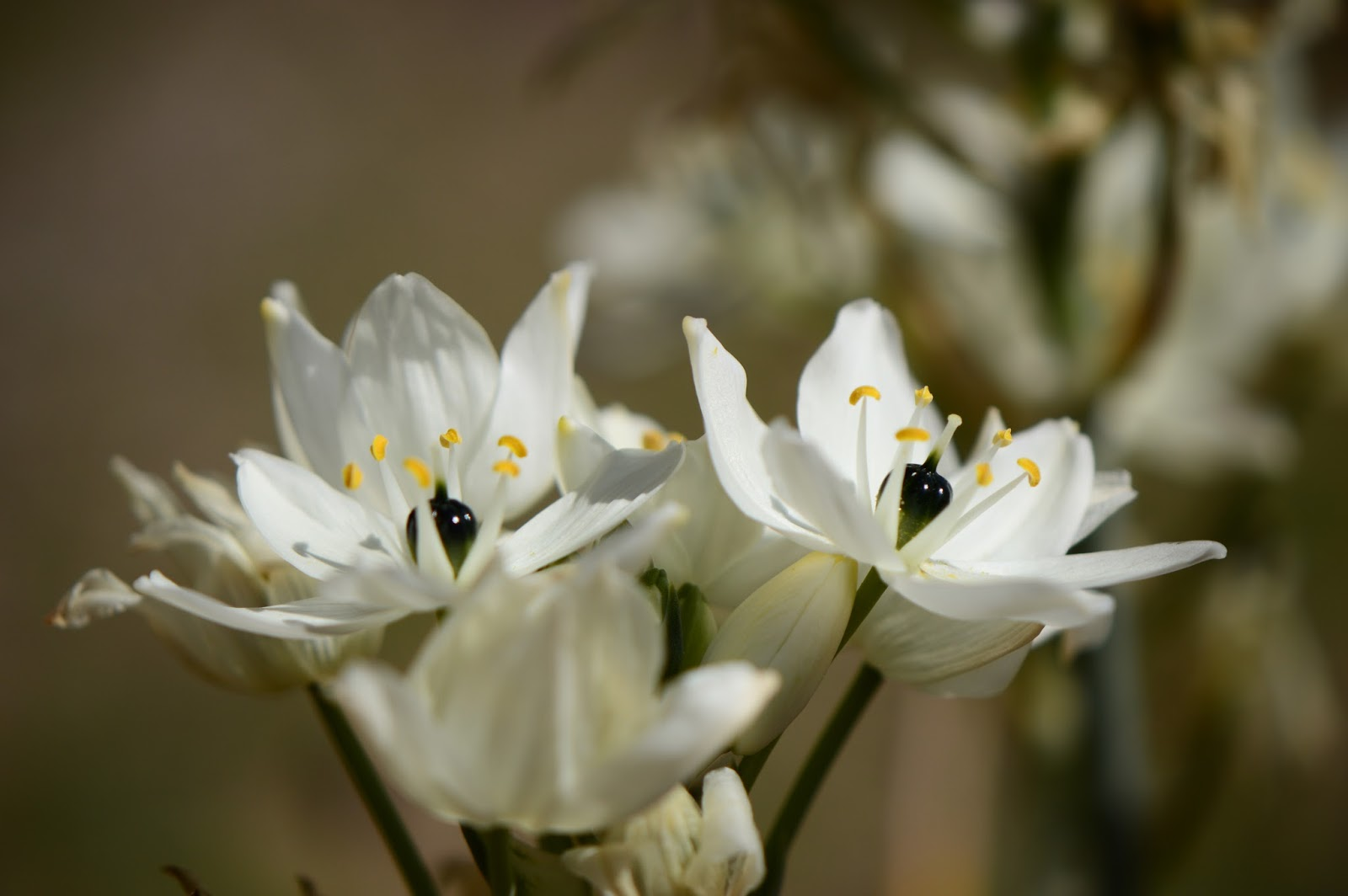 Ornithogalum arabicum, wordless wednesday