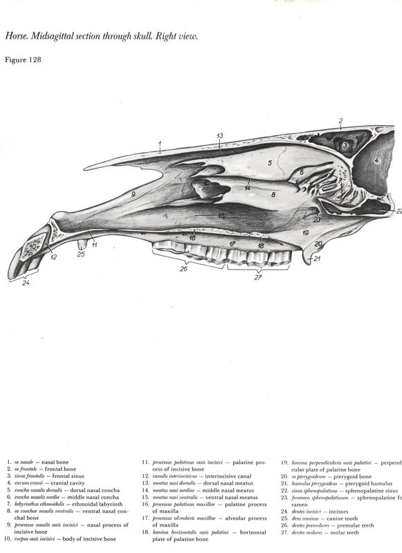 horse-cavalo-skull-anatomy-anatomia-cranio-maxilar-sinusal-sinuses-vetarq-muscle-musculatura-bone-osso-veias-arterias-dentição-equinos