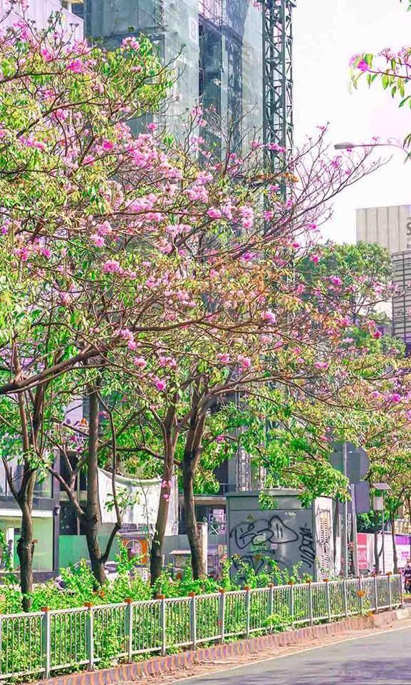 Có một Sài Gòn mộng mơ mùa hoa kèn hồng nở rộ - Ảnh 7