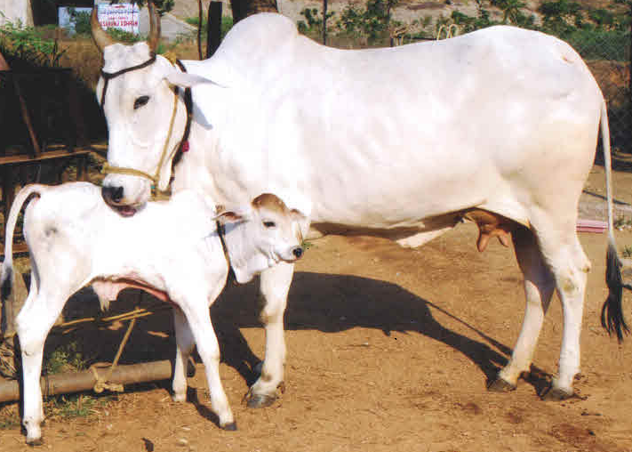 Ongole Cow AVERAGE YIELD 2-4 kg | POTENTIAL 10-15 kg  These cows belong to the Prakasam district of Andhra Pradesh.  Ongole bulls were used to develop  the Brahman breed in North America,  Photo: