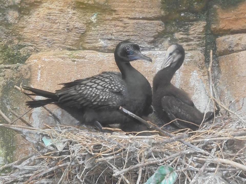burung pecuk hitam