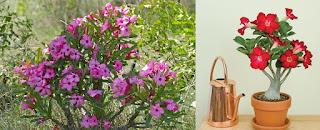 Adenium obesum, Rosa del desierto, Adenio: Cultivo,Cuidados,Poda,Reproducción