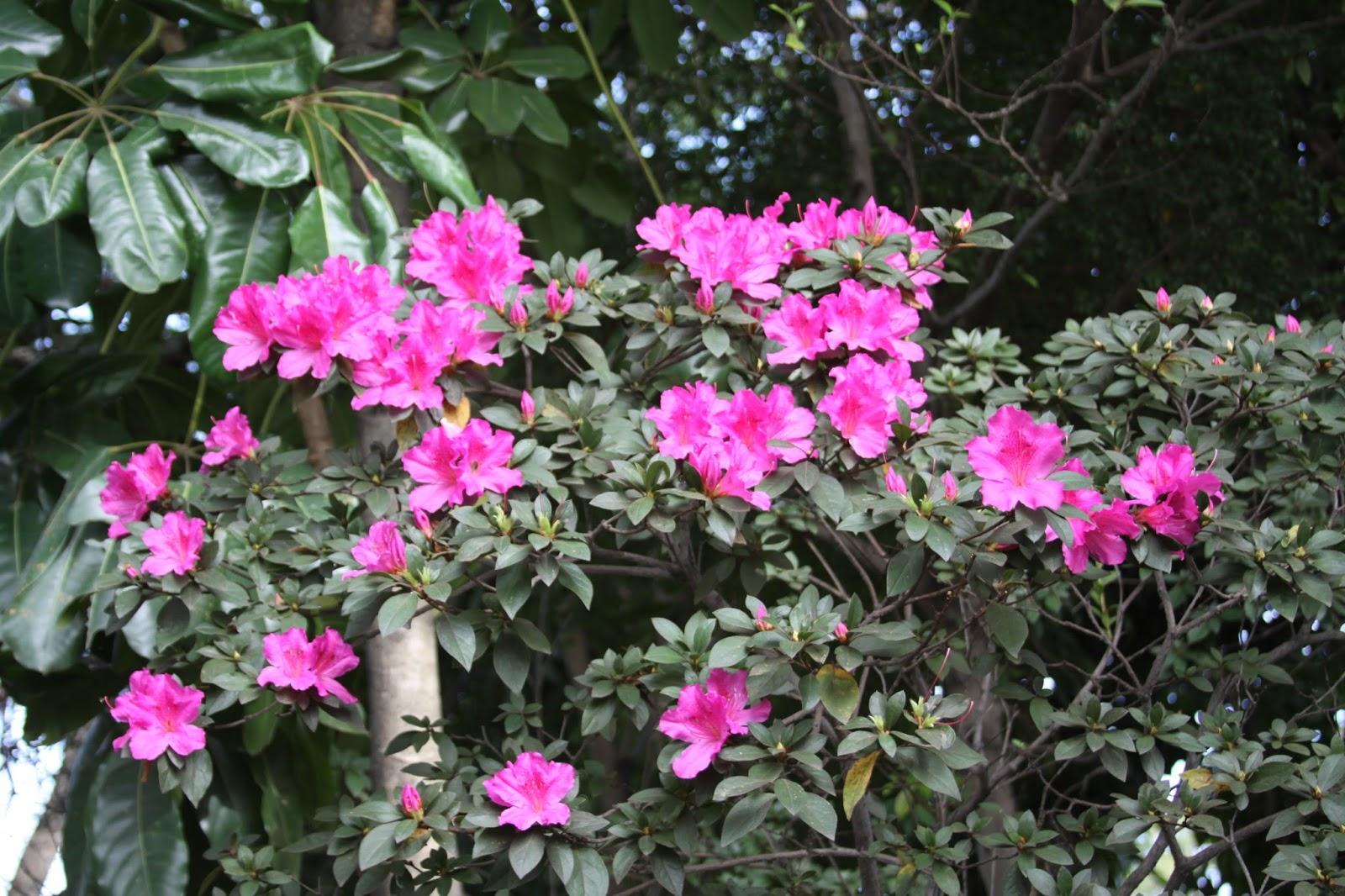 8d3e7c0d Desabrochar no inverno destaca azaleia como flor do mês
