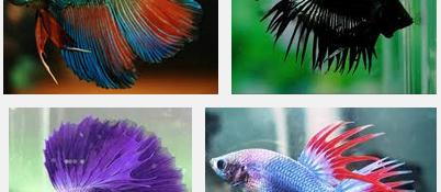 Cara Praktis dan Jitu Budidaya Ikan Cupang yang Menghasilkan Jutaan