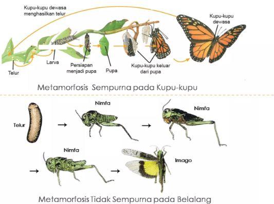 Tuliskan Skema Metamorfosis Sempurna Dan Metamorfosis Tidak Sempurna Pada Insecta Serangga Dan Sebutkan Contoh Hewannya Blog Pak Pandani
