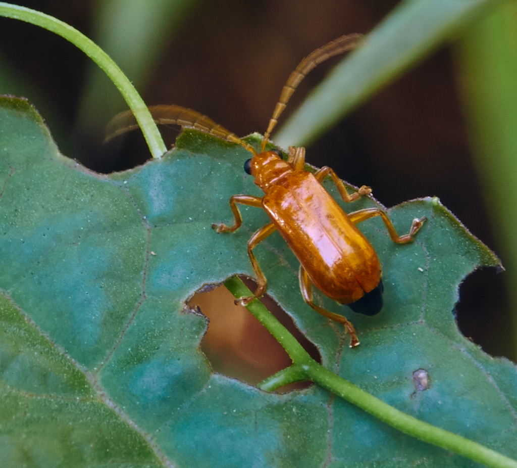 Orange Beetle,Philippines
