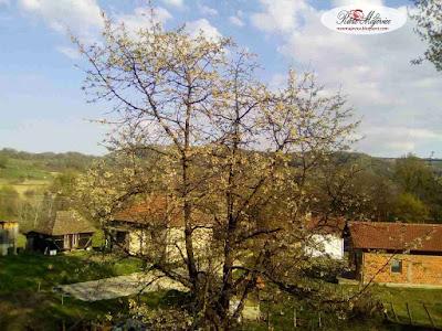 Rasadnik, sadnice, ruza, Bosna i Hercegovina, BiH
