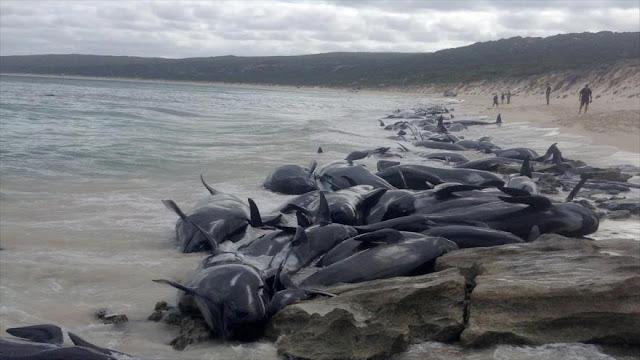 Mueren 150 ballenas varadas en una playa de Australia