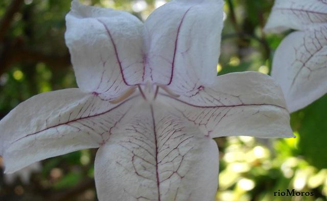 Flor de MACAYA, Campana de río Mackaya bella