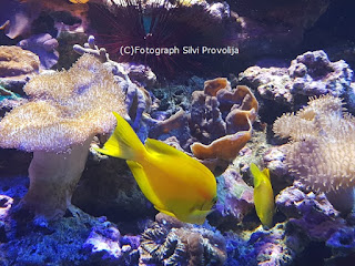 Hawaii Doctorfisch Meeresaquarium Zella Mehlis Fotograph (C) Silvi Provolija