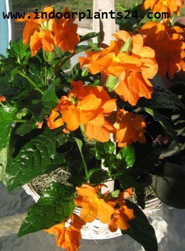 Crossandra Infundibuliformis plant