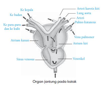 Sistem Sirkulasi Katak