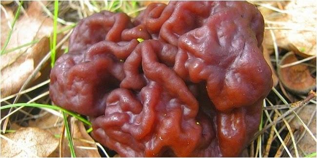 Jamur yang Bahaya untuk Kesehatan