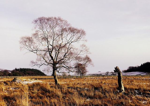 Birch Trees in Teesdale