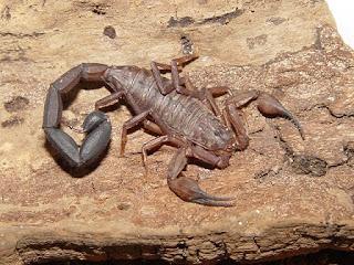 Escorpiones o Alacranes: Todo acerca de estos arácnidos