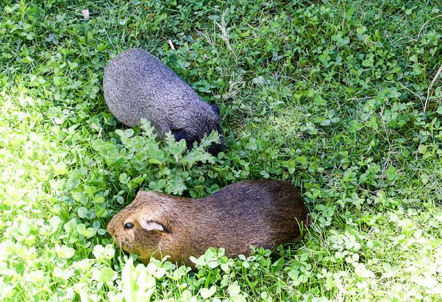 Meerschweinchen im Luisenpark Mannheim