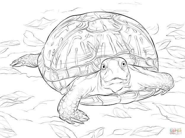 Realistic Ornate Box Turtle
