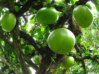 Calabash fruit images wallpaper