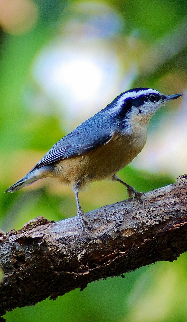 Picture of a  red-breasted nuthatch.