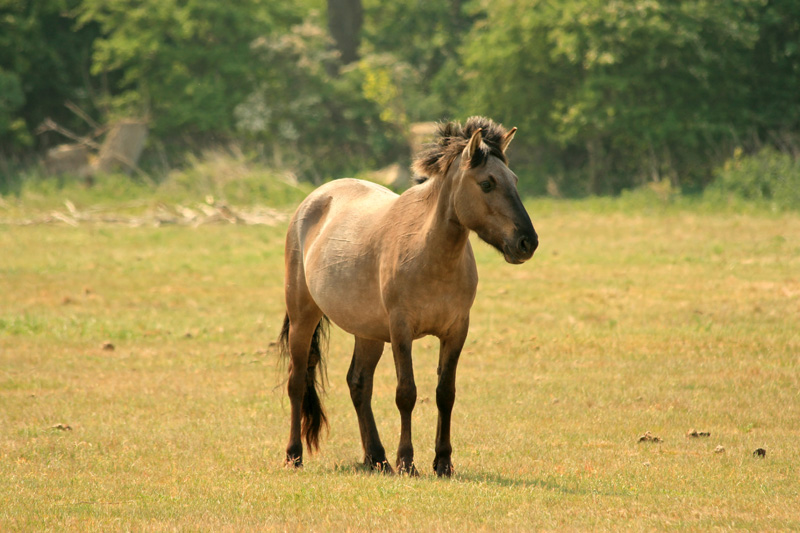 A brown Konik horse in a green pasture in rural Poland