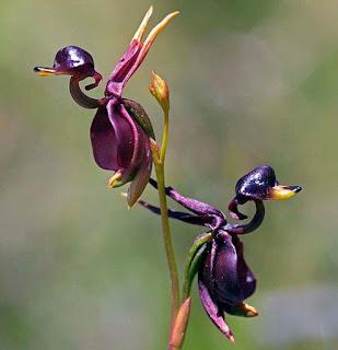 Ördek Orkidesi