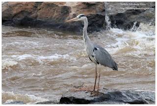 https://bioclicetphotos.blogspot.fr/search/label/H%C3%A9ron%20cendr%C3%A9%20-%20Ardea%20cinerea%20KNY