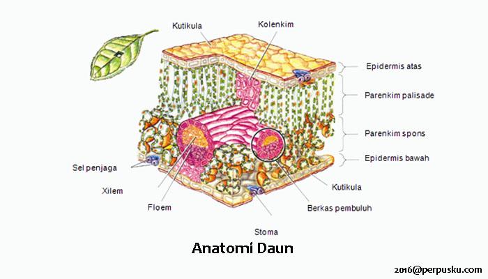 Struktur Anatomi Daun