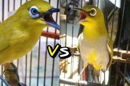 Perbandingan Mencolok Pleci Dada Kuning (Dakun) dan Pleci Dada Putih (Daput)