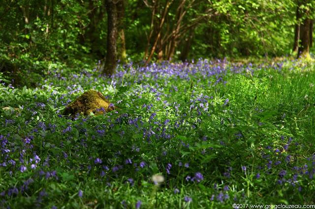 Dans les parties les plus fraîches, on trouve de superbes tapis de Jacinthe des Bois.