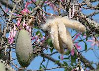 Kapok ağacında kapok meyvesi ve lifleri