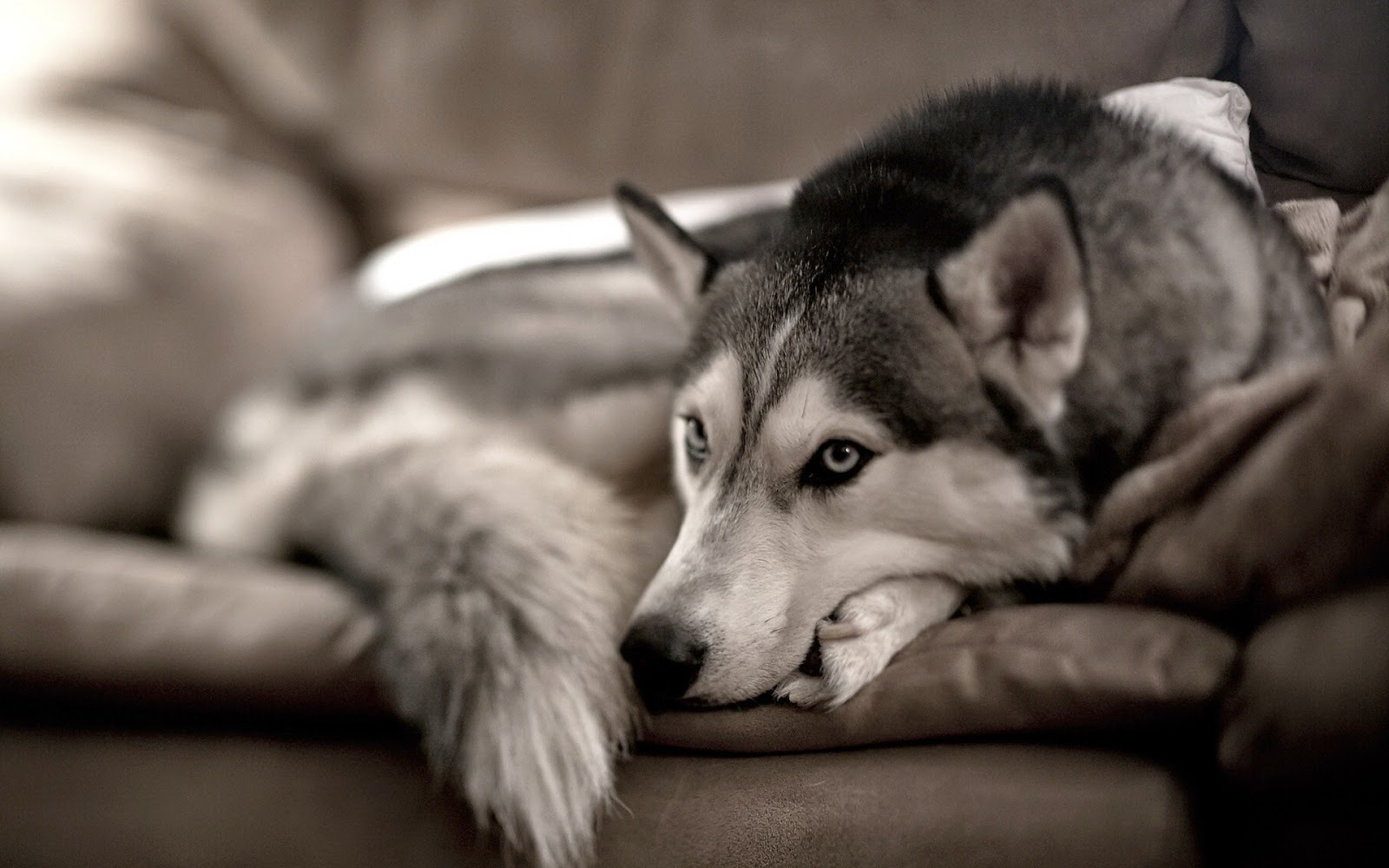 Can A Husky Live In An Apartment
