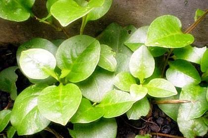 10 Manfaat dan khasiat daun binahong untuk pengobatan