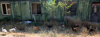 Free range chooks