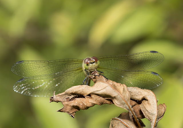 Female Common Darter head on (stacked set of 2 images)