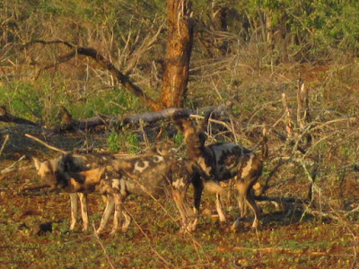 Wild dogs | Travel with Katchie