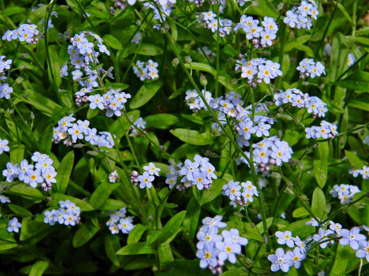niezapominajki, kwiaty, byliny, święto niezapominajki