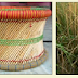 Saccharum munja- कैसे करें उपयोगी मूंजा घास की खेती-