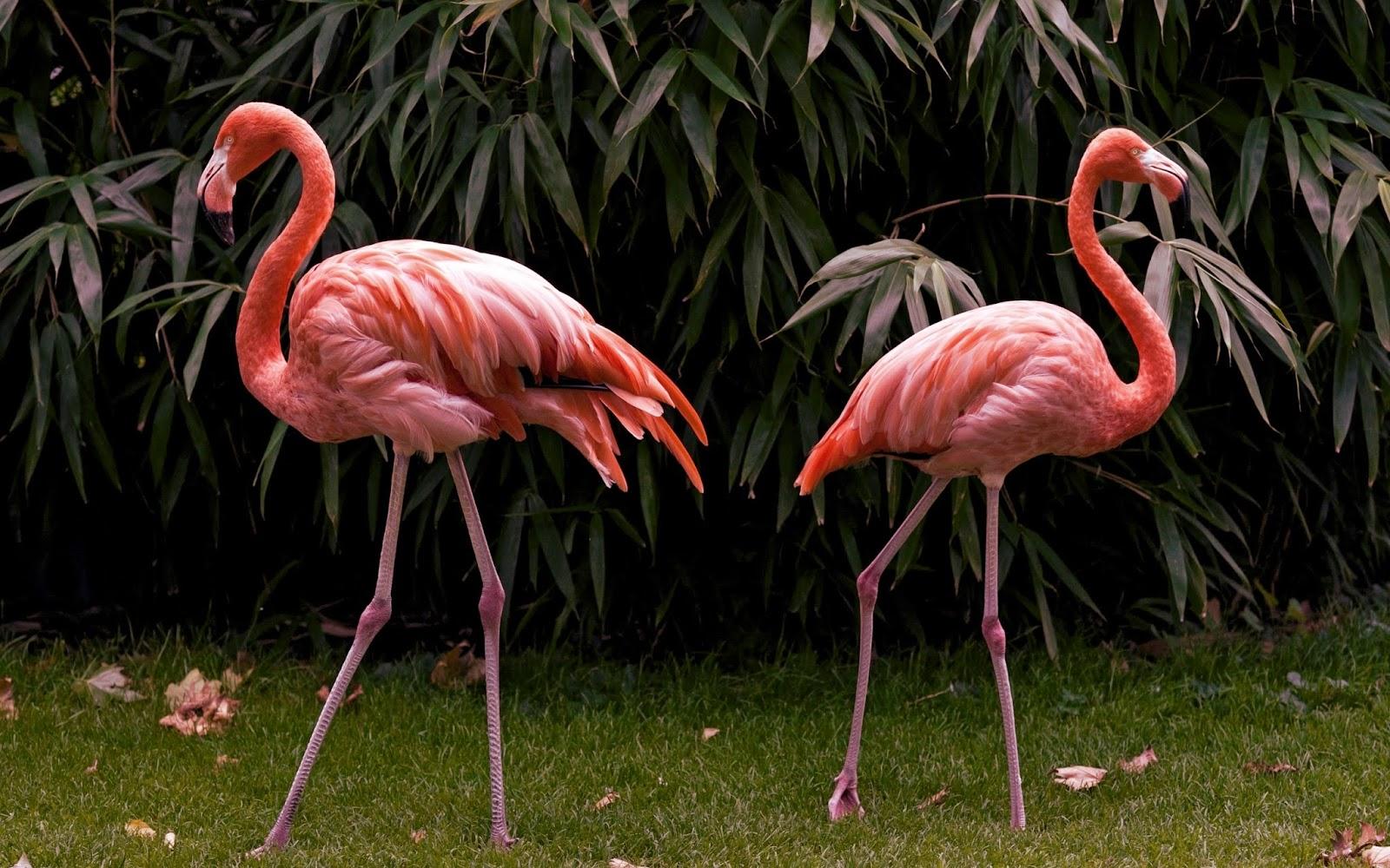 burung flamingo nama hewan dari huruf F