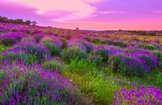 Foto Bunga Lavender Ungu yang Indah 12