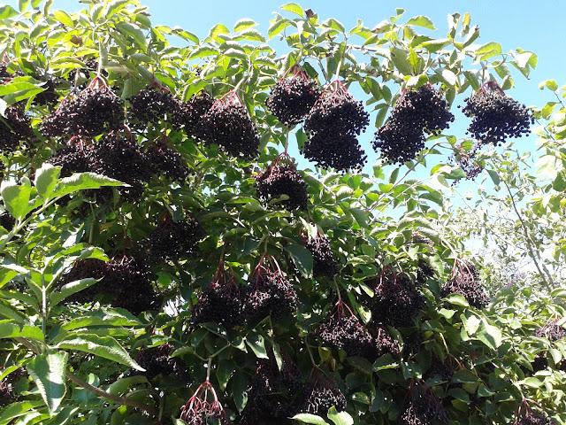 Sok z owoców czarnego bzu na odporność