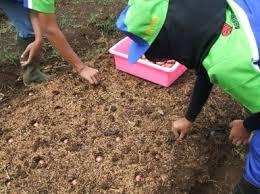 menanam bawang merah Brebes