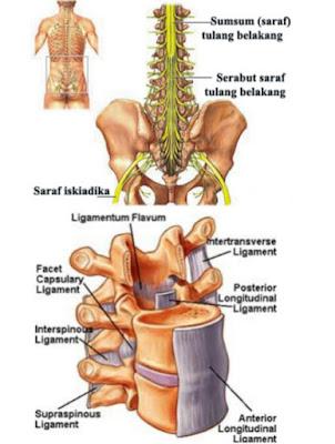 Ruas-vertebrae-tulang-punggung