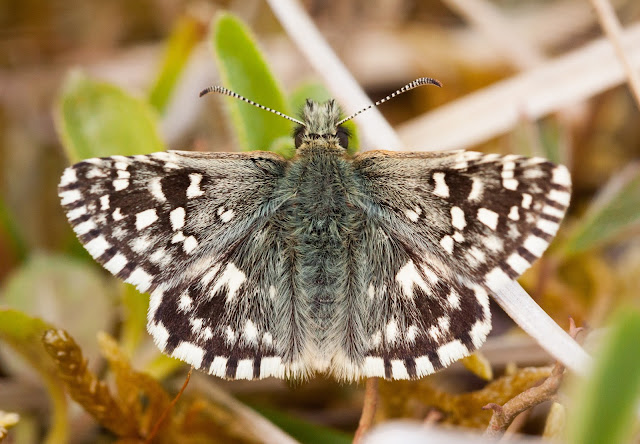 Grizzled Skipper - Buckinghamshire