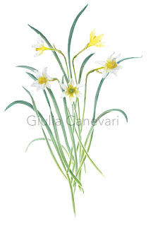 memorina group, narcissus, Giulia canevari, narcisi, watercolours, acquerelli