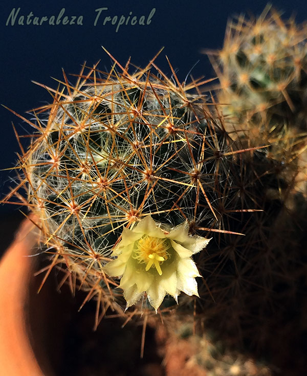 Mammillaria prolifera florecido