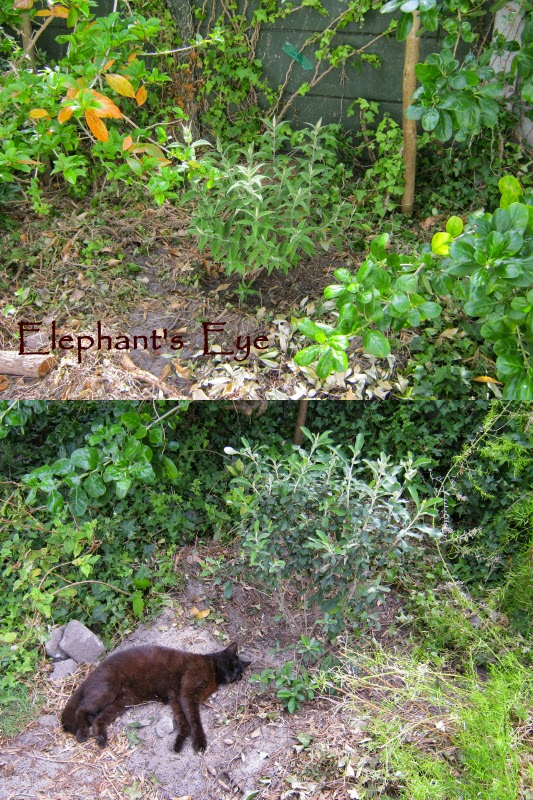 Camphor bush and Buddleja  either side of Coprosma