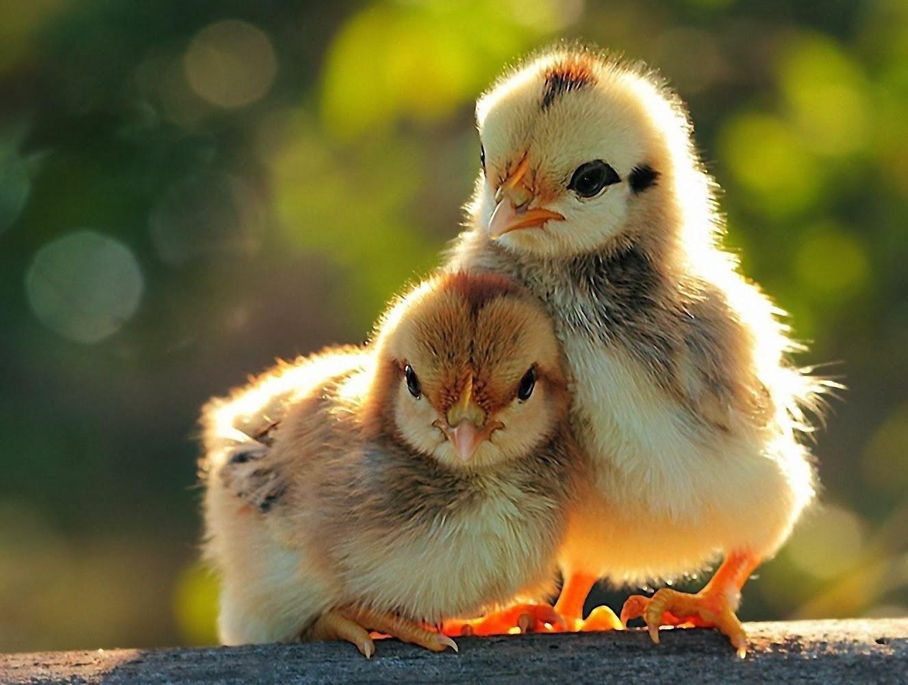 All 4u HD Wallpaper Free Download : Cute Baby Chick ...