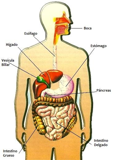 Aparato Digestivo y sus partes