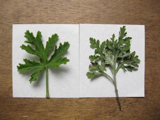 hojas de pelargonium odoratissimum a la izquierda y de ambrosia cumanensis a la derecha