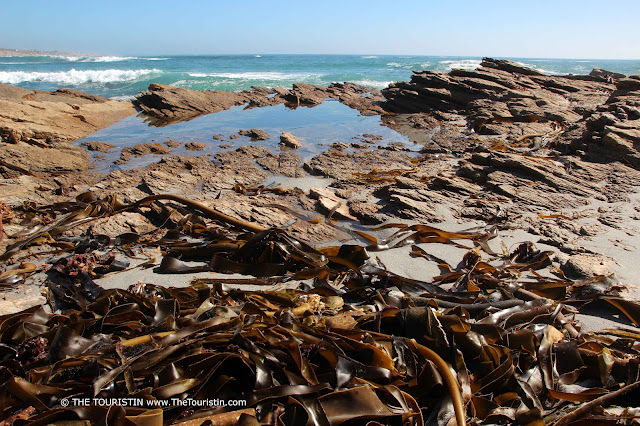 Large pieces of brown kelp on the beach with rocks and the green-blue ocean in the background.